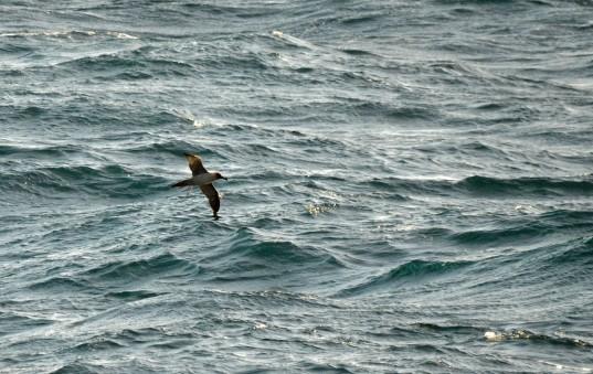 The mega Light-mantled Albatross