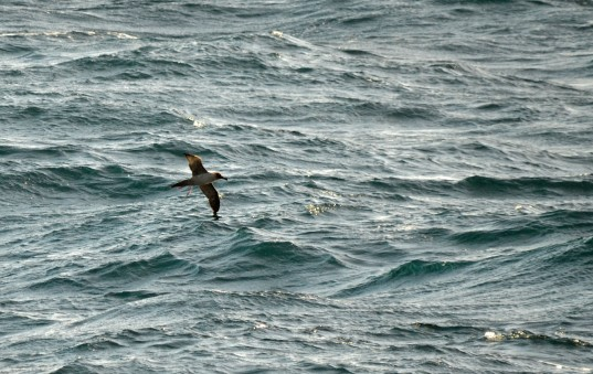 The mega Light-mantled Albatross
