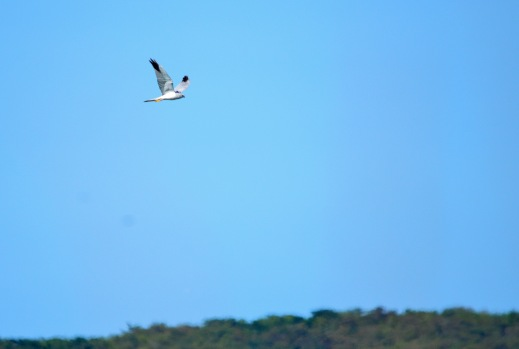 A male Pallid Harrier over Nylsvley