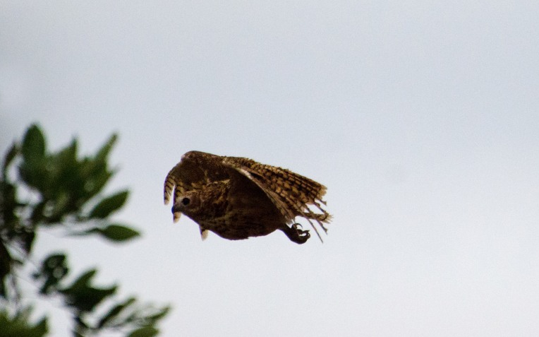 And Pel's Fishing Owl number two, likely the female