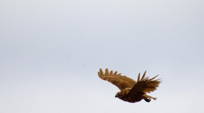 Pel's Fishing Owl flyby number one