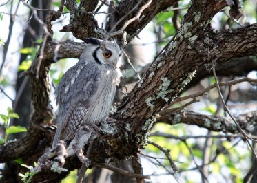 One of three Southern White-faced Owls
