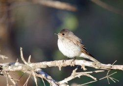 A Spotted Flycatcher enjoying the morning sun