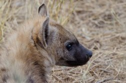 A Spotted Hyena pup peering out of its den