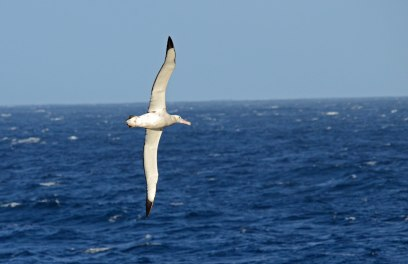 Bottomside view of a Wandering Albatross