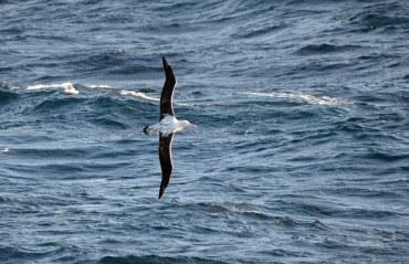 A gorgeous Wandering Albatross