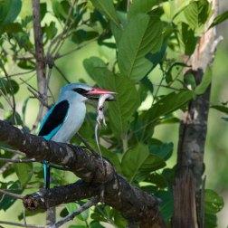The Woodland Kingfisher bashing a skink