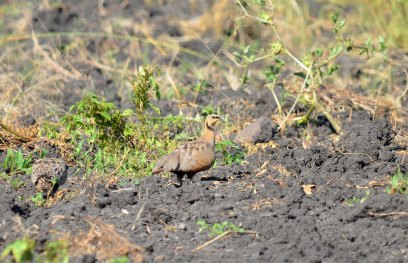 A male Yellow-throated Sandgrouse in the fields north of Rustenburg