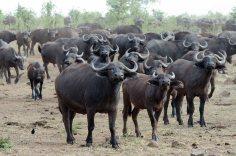 A mega herd of Cape Buffalo