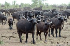 A mega herd of Cape Buffalo