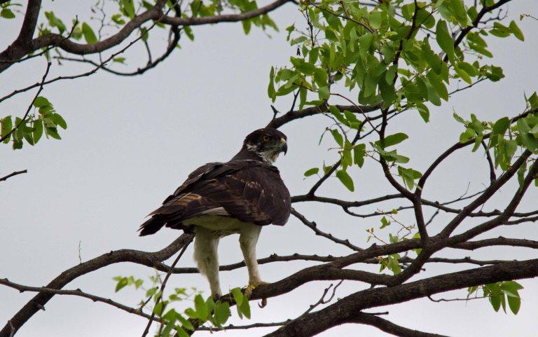 African Hawk Eagle 3 - Pafuri, KNP