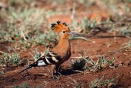The African Hoopoe blending into the background