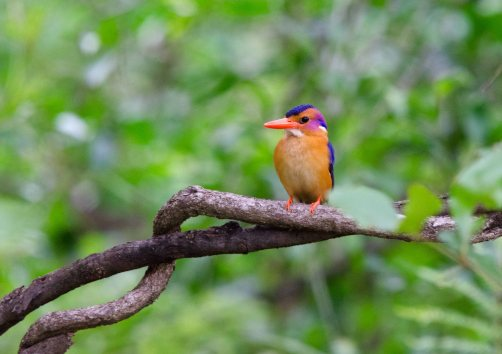 A little jewel in the dark, the African Pygmy Kingfisher