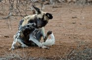Wild Dog having a good scratch