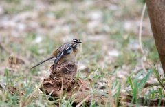A Bearded Scrub-robin feeding around the camp