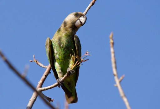 A Brown-headed Parrot at Balule