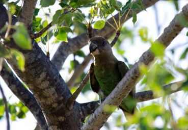 A Brown-headed Parrot perched above our tent