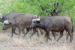 Big Cape Buffalo herd crossing the road