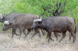 Big Cape Buffalo herd crossing the road