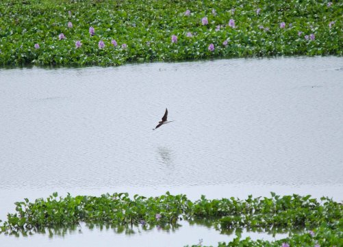 A Collared Pratincole flyby