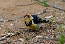 A very tame Crested Barbet