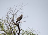 A Dark Chanting Goshawk, the only one of the trip