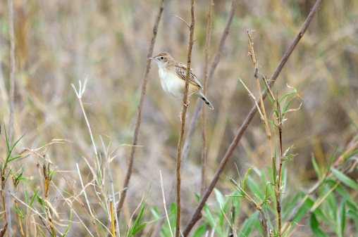 A Desert Cisticola taking a break from his aerial displays