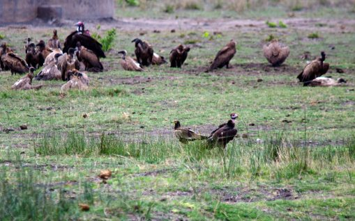 Egyptian and White-headed Vultures pre-fight