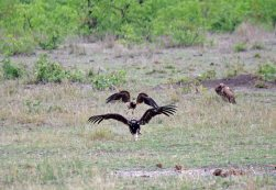 The juvenile White-headed Vulture chasing the Egyptian Vulture