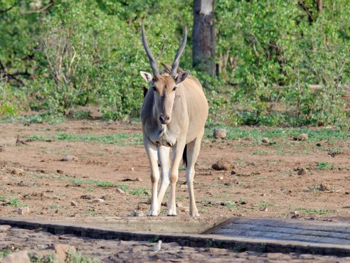 Mama Eland at the waterhole