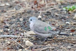 The ever-adorable Emerald Spotted Wood-dove
