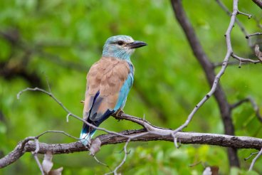 The beautiful migratory European Roller