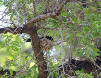 Fork-tailed Drongo on its nest