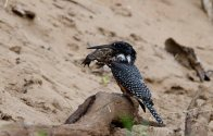A Giant Kingfisher with more than he can swallow