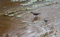 The Green Sandpiper doing its thing