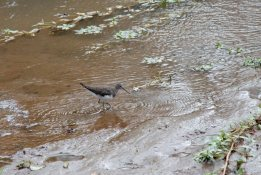 The ever-elusive Green Sandpiper