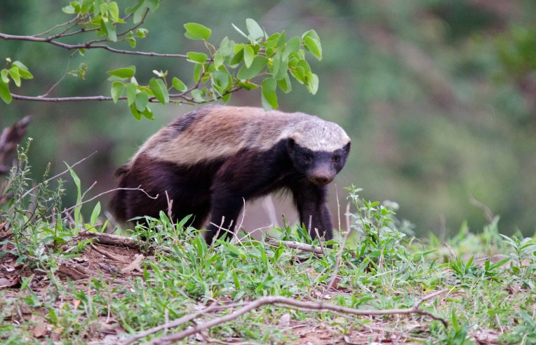 Beautiful head on Honey Badger