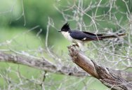 A confiding Jacobin Cuckoo
