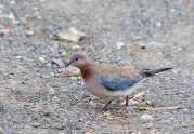 A Laughing Dove crossing the road