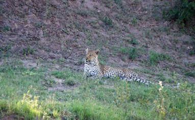A basking Leopard