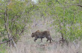 A female Leopard running for its life