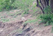 A faraway Leopard walking the bank