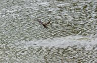 Lesser Striped Swallow skimming the dam