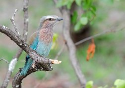 A young Lilac-breasted Roller