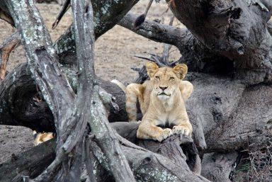 Lion cub resting on the log