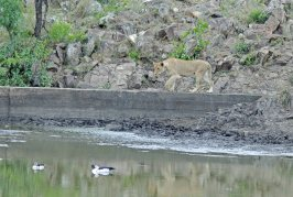 Lioness and Knob-billed Duck sharing the dam