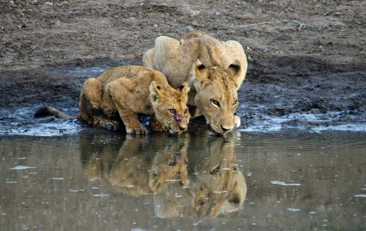 Mom and cub having a drink