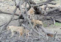 A Lion family portrait