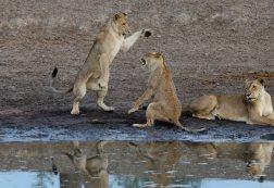 Lion cub play pouncing