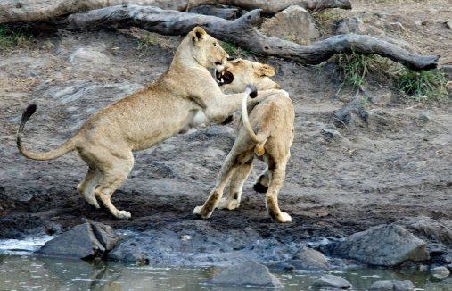 Lion cud tackle